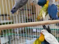 Ihave diferent color lovebirds in the amazon pet store