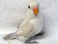 White/ Violet Baby Lovebird, male, 2 months, semi-tame