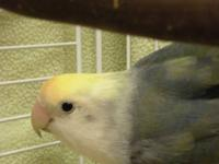 Lovebird - Marlow - Medium - Young - Bird Marlow came