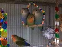 Lovebird - Mary - Small - Adult - Bird This wonderful