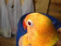 Tengo lovebird para la venta yellow fisher ojos rojos