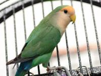 Lovebird - Brie And Caprice - Small - Adult - Bird Brie