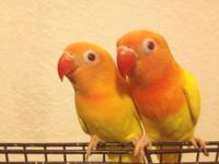 Hi I have two yellow fisher lutinos RED eyes for sale