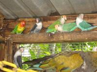 Rescue has 10 beautiful, unique colored Lovebirds. Not