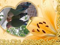 3 Baby lovebirds prices start from $85.00 to $95.00 if