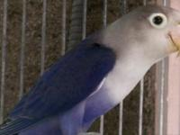 Violet Fischer lovebird female ready to breed, $80. for