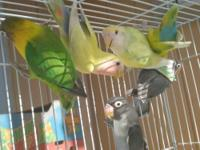 I have a few lovebirds for sale, not tame, Adults &