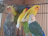 I have actually ten Lovebirds for sale. Price is 40 & &