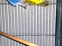 I have 2 pair of lovebirds a male violet with a green