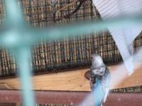 I have a proven pair of breeding lovebirds for sale and