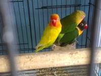 Young lovebirds green peachface, they are not tame but