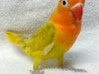 Lovebird fischeri infant, born on October 15, tame with