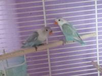 2 Lovebirds 35$ each Babies just eating By their own or