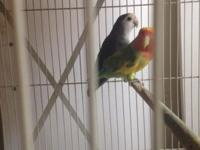 Hi, i have 3 peach lovebirds for sale They 're adults
