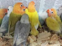 handfeed baby lovebirds.  we have fishers, pieds,
