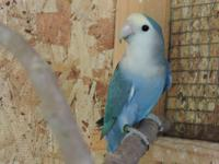 Selling two quality lovebirds. $150 for blue lovebird: