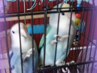 Proven Pair - Male is medium violet, female is single
