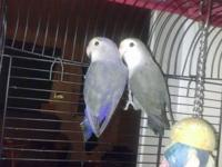 I have 2 pair of lovebirds and 1 single lovebird for