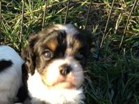 These lovely Cav puppies were born Oct 10, 2012. 1 male