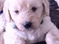 Just arrived May 29th! Our Goldendoodle puppies were