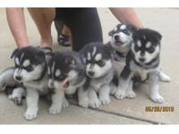 Animal Type: Dogs Breed: Siberian Husky lovely blue
