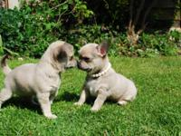 I have two Chihuahua 1 boy and 1 girl left for