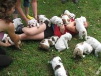 English Bulldog puppies - 12 weeks old., with