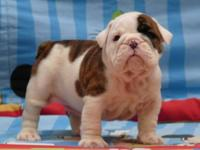 We have 2 female and 2 male English bulldog puppies for