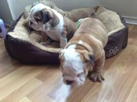 We have got both male and female English Bulldog