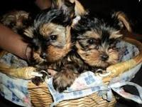 We have male and female T-Cup Yorkie puppies