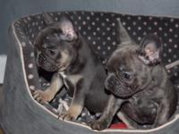 French Bulldog puppie, they are house broken, very