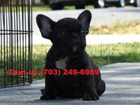 I have a lovely handsome male French bulldog puppy