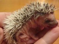 i have very good HEDGEHOGS for sale at very encouraging