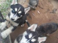 cute husky puppies ready for the forever home all