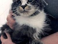 Tory: Lovely Maine Coon Mix's story Tory is a gorgeous,