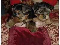 Male and female Yorkie puppies ready for adoption to