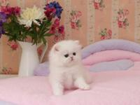 Lovely Persian Kittens for sale TEXT 916  -
