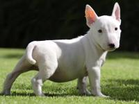 "Animal Type: Dogs Breed: Bull Terrier ""Hi, my name is"