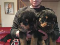 Lovely Rottweiler Puppies for sale.They are current on