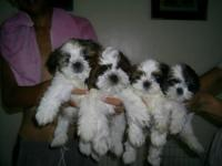 Shih Tzu puppies boys and girls available Friendly