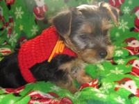 Beautiful Australian silky Terrier Female Puppy.