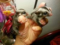 I Have A Pair of Sugar Glider Joeys. Very very sweet. I