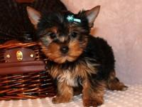 Our teacup Yorkie puppies are very well loved and
