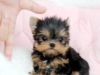 Lovely teacup Yorkie puppies still available to any one