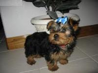 We now have two Yorkie puppies ready to leave to
