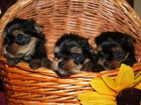 We have these lovely  Yorkie puppies available! They
