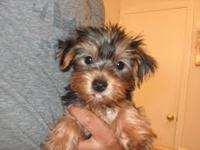 CHARMING Yorkie Puppy  up for re-homing . Yorkies are