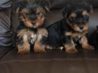 Animal Type: Dogs lovely Yorkshire Terrier Puppies for