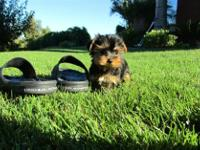Animal Type: Dogs Our teacup yorkie puppies are very