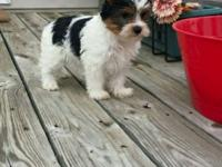 MR LOVER IS A HANDSOME AKC BLACK AND WHITE YORKIE THAT